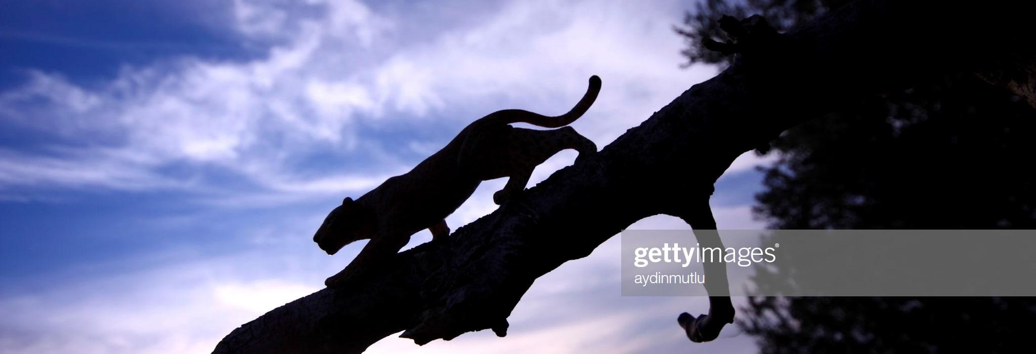 2020-03leopard-silhouette-picture-id160179694